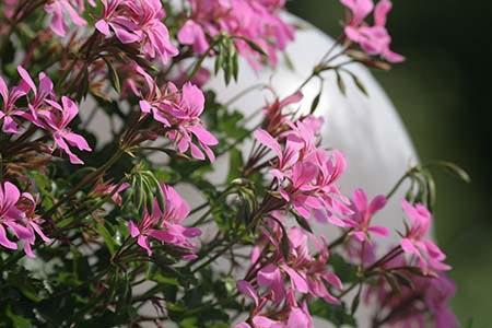 Blumen - durch den 50mm ED Apo